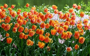 Picture tulips, orange, flowerbed, a lot