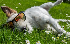 Picture summer, meadow, glasses, dog