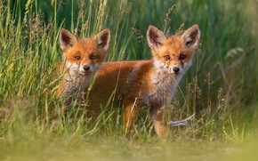 Picture grass, Fox, kids, a couple, Duo, two, cubs, two Fox