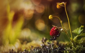 Picture macro, nature, moss, strawberries, berry, ant, bokeh