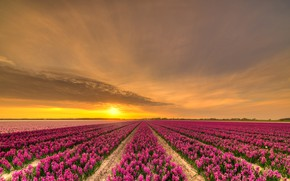 Picture field, the sky, the sun, clouds, sunset, flowers, beauty, the evening, pink, the beds, Netherlands, …