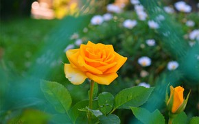Picture rose, Yellow rose, Yellow rose