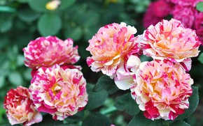 Picture flowers, background, roses, flowerbed