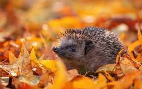 Picture autumn, hedgehog, fallen leaves, yellow leaves