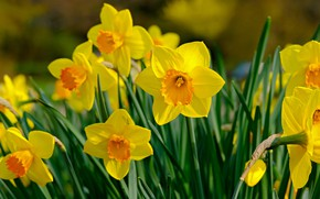 Picture flowers, spring, yellow, daffodils