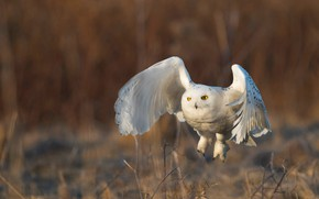 Picture flight, nature, owl, bird, wings, white, flies, stroke, polar, the scope, snowy owl