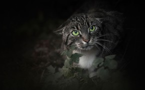 Picture cat, cat, look, face, green eyes, aggressive