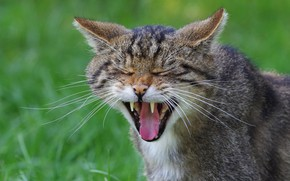 Picture language, cat, face, mouth, fangs, grin, closed eyes, wild cat, he closed his eyes, Zev