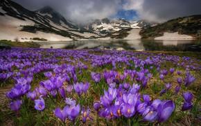 Picture mountains, Krokus, saffron