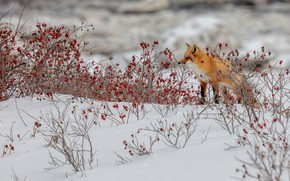 Picture winter, snow, branches, berries, thickets, fruit, briar, Fox, red, red, the bushes, Fox
