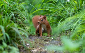 Picture greens, grass, nature, pose, protein, path, rodent
