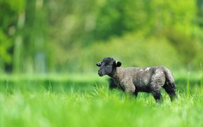 Picture greens, field, grass, nature, green, glade, black, spring, small, baby, meadow, lamb, cub, lawn, sheep, …