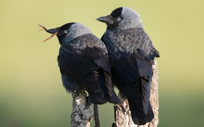 Picture birds, background, two, pair, Duo, jackdaw, jackdaws