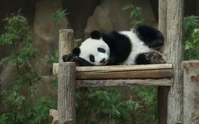 Picture face, leaves, nature, pose, stay, baby, bear, Panda, lies, bear, zoo, columns, bench