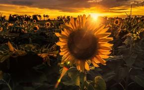 Wallpaper summer, sunflowers, sunset, nature