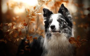 Picture autumn, look, face, leaves, light, branches, nature, foliage, black and white, portrait, dog, bokeh, the …