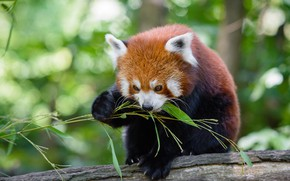 Picture face, leaves, pose, background, food, bamboo, red Panda, log, lunch, bokeh, red Panda