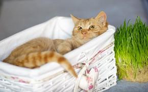 Picture cat, grass, cat, look, comfort, red, muzzle, cute, lies, basket, heart