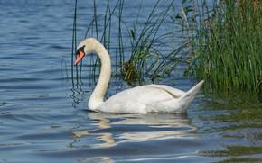 Picture grass, look, water, lake, bird, Swan