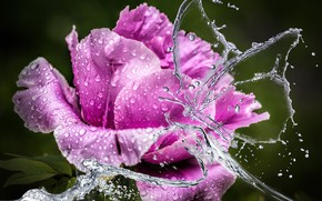 Picture flower, water, drops, flowers, squirt, close-up, background, lilac, treatment, petals, Bud, peony