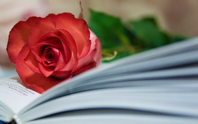 Picture rose, Bud, book