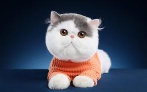 Picture cat, cat, look, pose, background, muzzle, lies, blouse, extreme, Studio, exotic