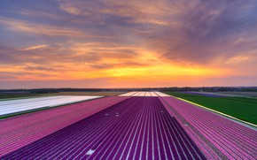 Picture field, the sky, clouds, line, sunset, flowers, strip, perspective, field, beauty, spring, the evening, horizon, …