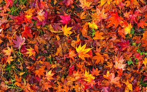 Wallpaper autumn, leaves, background, colorful, red, maple, background, autumn, leaves, autumn, maple