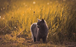 Picture field, cat, grass, cat, look, face, nature, pose, grey, British, bokeh