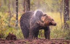Picture forest, trees, squirt, nature, wet, pose, bear, bear, brown, shakes, after swimming, turns his head