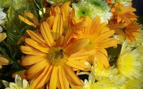 Picture chrysanthemum, yellow, oranjevyi, Meduzanol ©