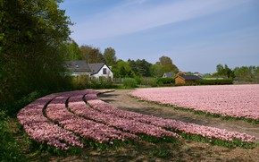 Picture field, the sky, the sun, trees, flowers, tulips, houses, pink, Netherlands, Egmond
