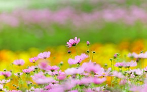 Picture field, summer, space, flowers, strip, background, stems, glade, yellow, garden, meadow, pink, flowerbed, flowering, a ...