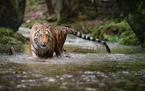 Picture forest, water, nature, tiger, stream, animal, predator, beast