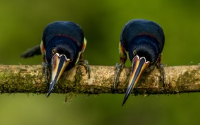 Picture birds, pose, background, two, branch, Toucan, toucans, two birds