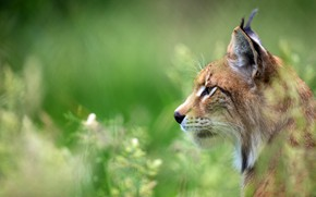 Picture look, face, green, background, portrait, profile, lynx, wild cat
