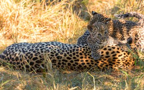 Picture grass, light, glade, leopard, kittens, kids, wild cats, trio, leopards, cubs, mother, two kittens