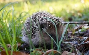 Picture grass, nature, hedgehog, hedgehog, hedgehog, hedgehog