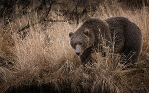 Picture autumn, grass, look, branches, pose, bear, dry, brown, Mikhaylo Potapych