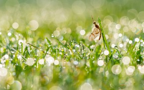Picture grass, drops, light, Rosa, glare, insect, mayfly