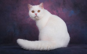 Picture cat, cat, look, face, pose, the dark background, tail, white, sitting, kitty, yellow eyes, kitty, ...