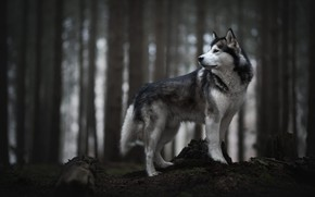 Wallpaper forest, look, face, trees, nature, pose, the dark background, trunks, stump, dog, profile, log, grey, ...