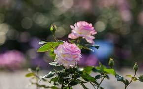 Picture macro, roses, bokeh