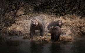 Wallpaper autumn, grass, look, trees, branches, pose, river, shore, bear, bathing, three, bear, bears, trio, two, ...