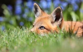 Picture grass, look, nature, background, Fox, red, Fox, bokeh, Fox, Fox