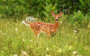 Picture greens, summer, grass, look, nature, deer, meadow, fawn, fawn, Bambi, white-tailed deer