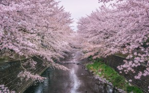Picture trees, Park, river, spring, Sakura