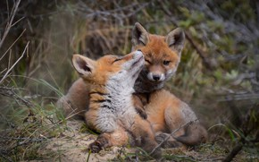 Picture grass, look, nature, pose, blur, Fox, kids, a couple, bokeh, cubs, two Fox