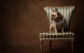 Picture background, dog, chair, French bulldog