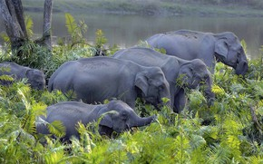 Picture India, elephants, the herd, Asian elephant, Kaziranga